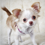 Photo of long haired chihuahua puppy.PNG