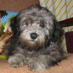 Maltese-Poodle-Puppy.jpg