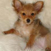 Pretty yorkie chihuahua puppy mix photo.PNG