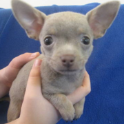 Rare chihuahua puppy pictures.PNG
