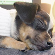 Rat Terrier Chihuahua sleeping.PNG