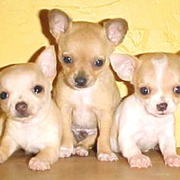 Photo of white chihuahua puppies.PNG