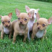 Picture of red chihuahua puppies.PNG