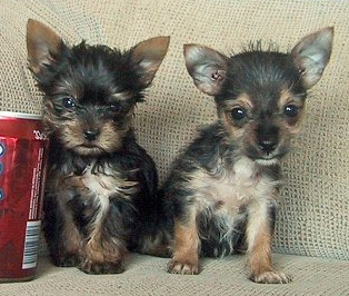 Picture of yorkie chihuahua puppies.PNG