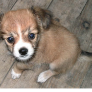 shih tzu chihuahua puppy photo.PNG