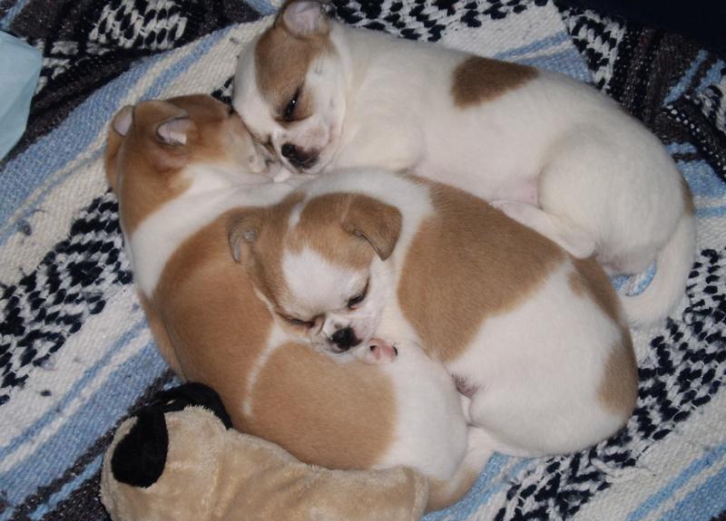White Chihuahua Puppies