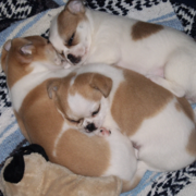 Tan and white  chihuahua puppies photos.PNG
