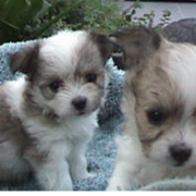 Two young maltese chihuahua puppies photo.PNG
