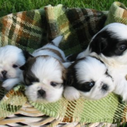 White and black pekingese chihuahua puppies in basket.PNG