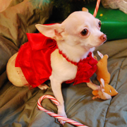 white chihuahua puppy in bright red outfit.PNG