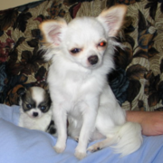 White Long coat chihuahua puppy with its puppy.PNG