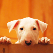 Puppy Bull Terrier dog picture.PNG