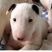 Bull Terrier Puppy Pictures