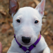 bull terrier breeder picture.PNG