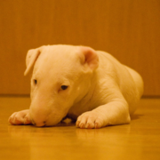 Bull Terrier dog puppy in white.PNG
