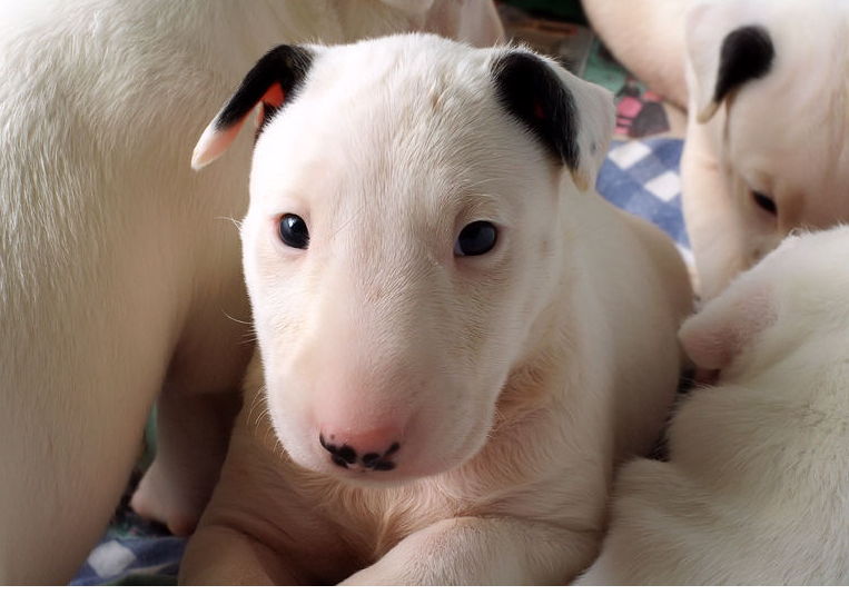Bull Terrier dogs picture of young puppies.PNG