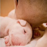 Bull Terrier mom cleaning its baby.PNG
