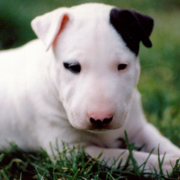 Bull Terrier puppy on the grass.PNG