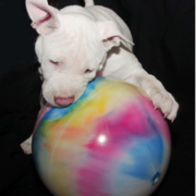 Bull Terrier puppy playing with its big ball.PNG