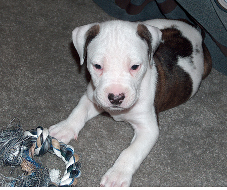 Bull Terrier puppy with his toy.PNG