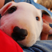 Close up picture of Bull Terrier puppy face with black nose.PNG