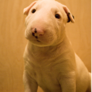 Cute Bull Terrier pup.PNG