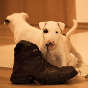 Cute but naughty bull terrier puppy photos.PNG