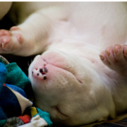 Cute puppy picture of Bull Terrier breed.PNG