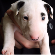 cute puppy picture of Bull Terrier dog.PNG