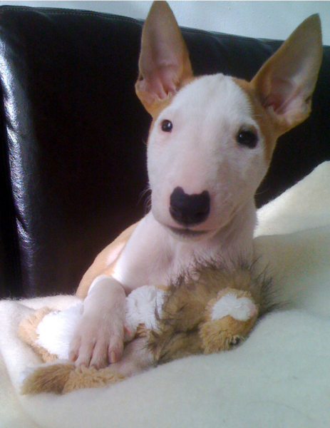 english bull terrier puppy.PNG