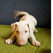 Playfull Bull Terrier puppy in white.PNG