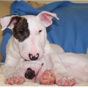 puppy bull terrier dogs picture.PNG