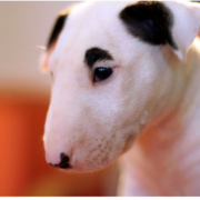 bull dog terrier puppy.PNG