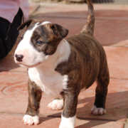 White and brown Bull Terrier picture.PNG