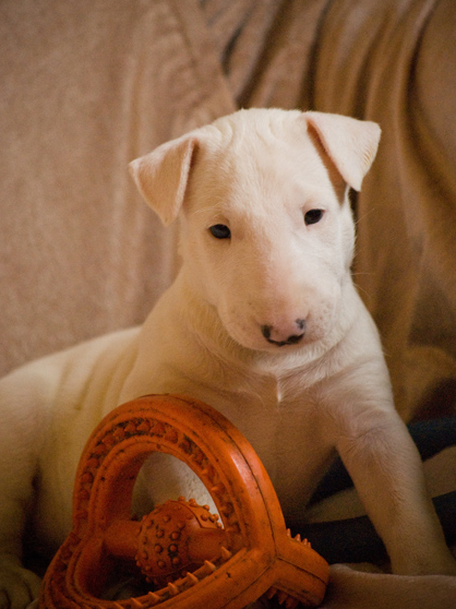 White Bull Terrier breeder picture.PNG