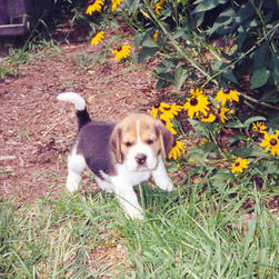 beagle pup_next to flowers.jpg