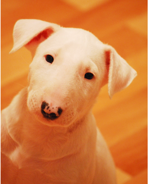 White Bull Terrier photos.PNG