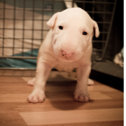 White young Bull Terrier pup image.PNG