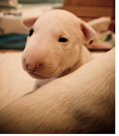White young Bull Terrier puppy image.PNG