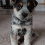 Blue Heeler puppy photo.PNG