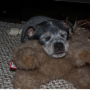 A cute Australian Blue Heeler puppy sleeping on its big teddy bear.PNG