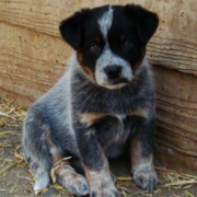 Australian Blue Heeler dog picture.PNG