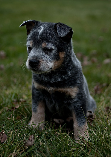 Australian Blue Heeler puppy picture.PNG