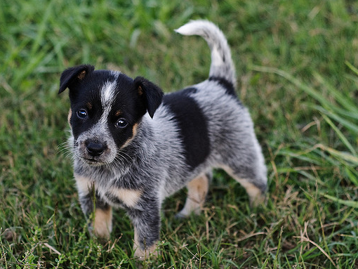 Miniature Australian Cattle Dog Puppies For Sale