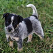 Beautiful dog picture of a Blue Heeler puppy.PNG