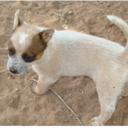 Blue Heeler dog puppy in cream color.PNG