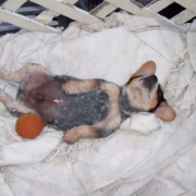 Blue Heeler puppy chilling out playing.PNG