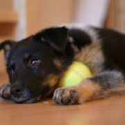 Blue Heeler puppy chilling out with its tennis ball.PNG