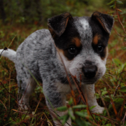 Blue Heeler puppy goes hunting at a young age.PNG