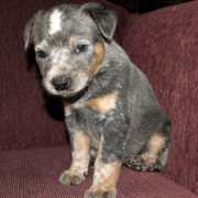 Blue Heeler puppy image.PNG
